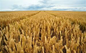 wheat_2225018b